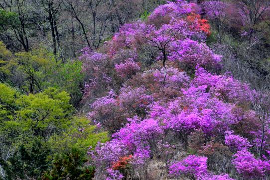 ミツバツツジの花と若葉の尾根