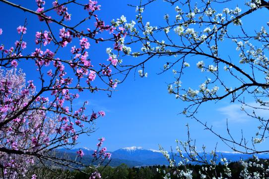 花桃と仙丈ヶ岳