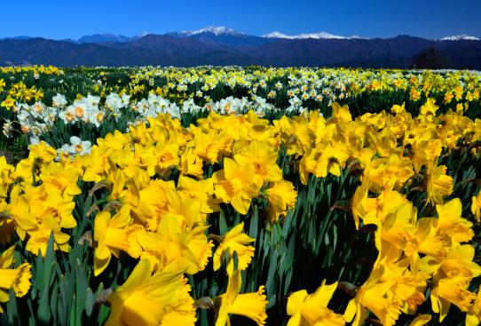 水仙のお花畑と南アルプス