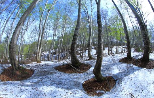 残雪と若葉の映えるブナ林
