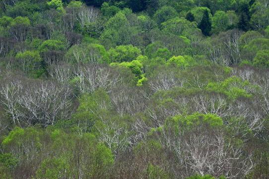 岳樺とブナの森