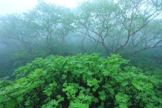 霧に霞むダケカンバ