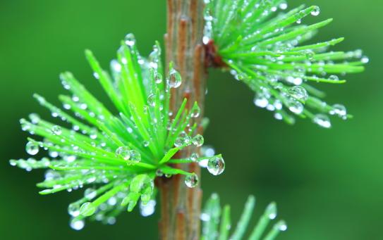 萌える若葉に水滴の華