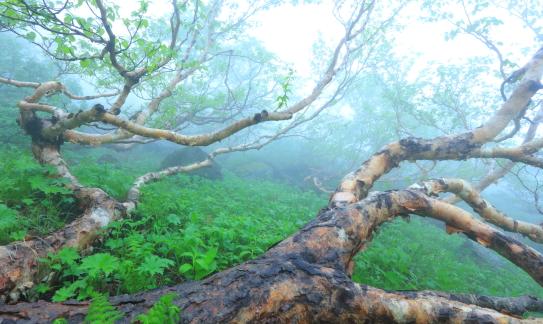 霧に霞むダケカンバ林
