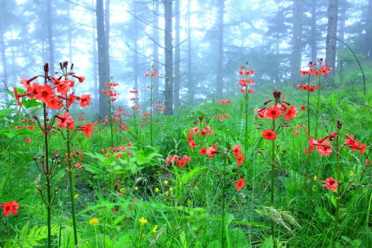 霧に霞むカラマツ林と九輪草