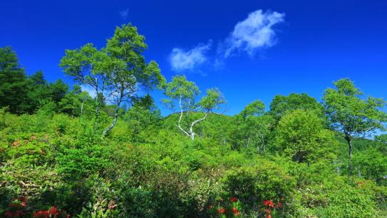 青空に映える白樺と雲、湯の丸高原