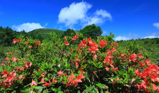 青空にレンゲツツジの花彩る湯の丸山