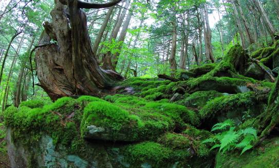 苔むす斜面に巨木の原生林