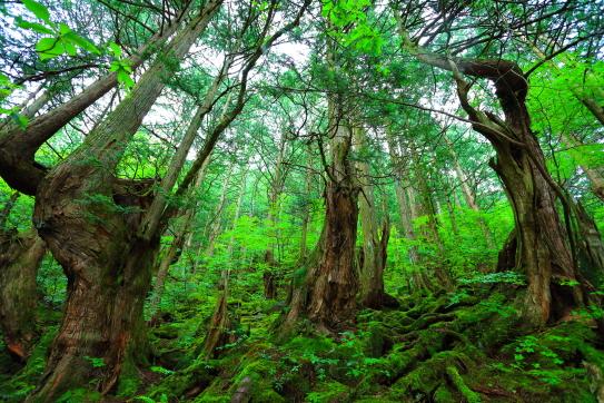 造形美競う巨木のサワラ原生林