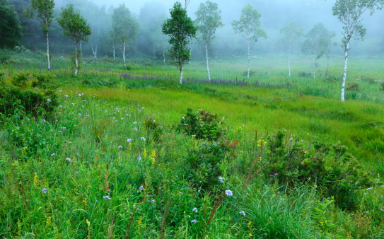 霧に煙る入笠湿原