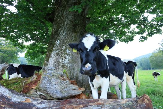 草を噛む牛