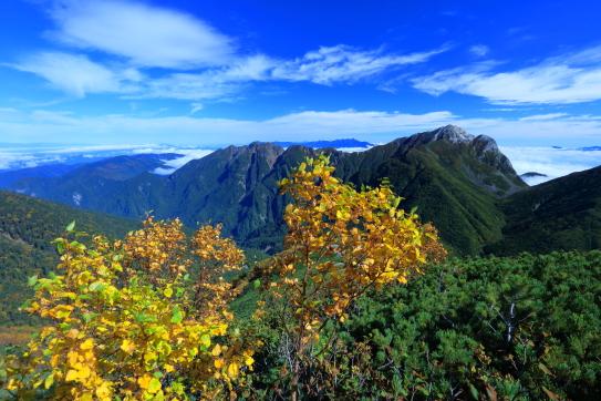 岳樺の黄葉輝く東駒ヶ岳