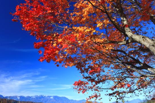青空に映えるモミジと西駒ヶ岳