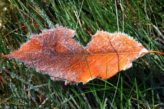 凍てつく落ち葉