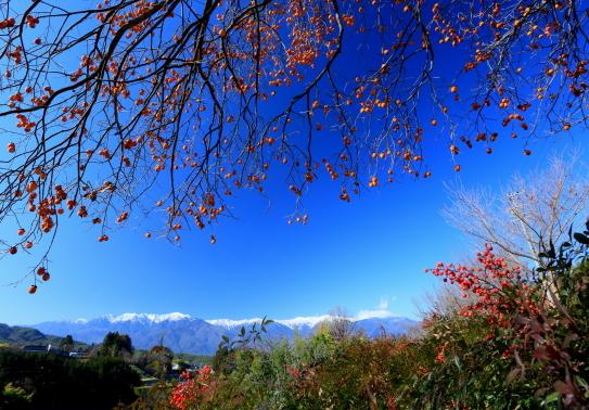 白銀のアルプスを彩る柿の実と南天の実