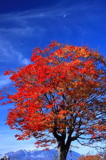 青空にモミジの紅葉映える