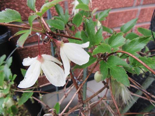 冬咲きクレマチス、シルホサ