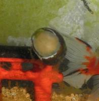 イシマキガイ2