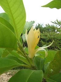 200px-Magnolia_champaca2.jpg