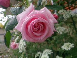今年のバラ