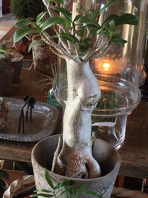 バオバブの木1