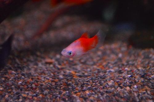 ギニアエンドリ (8)