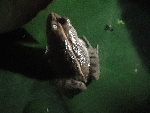 これ、なんて種類のカエルですか?ご存知の方はご教授ください