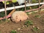 稲国の豚2