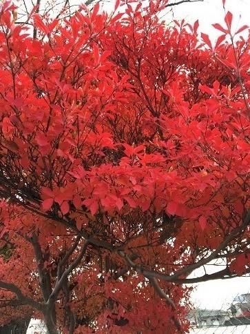 紅葉(16-11-20)