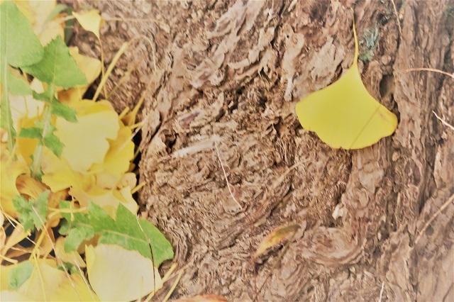 2016神宮外苑の紅葉(10)
