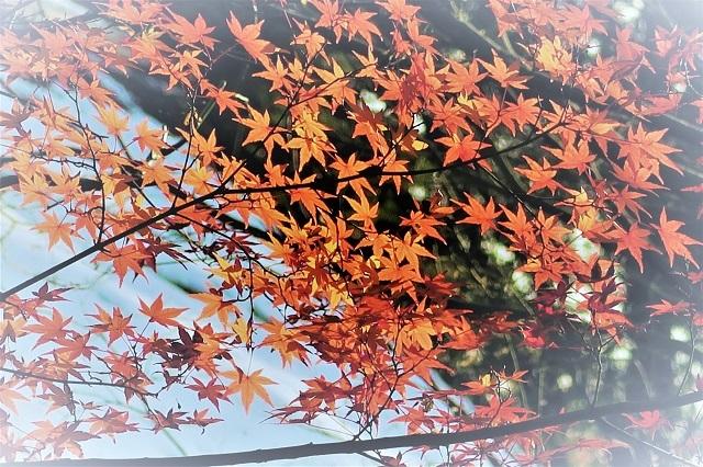 2016 平林寺の紅葉(11)