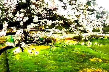 2016.04 樽見鉄道と桜 2
