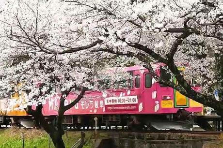 2016.04 樽見鉄道と桜 7