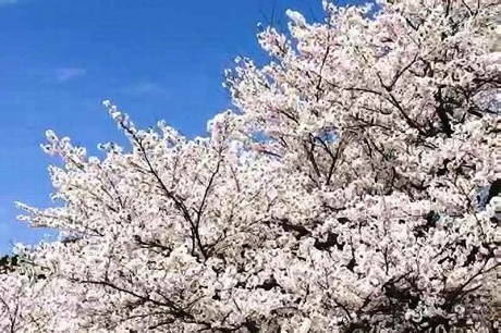 2016.04 樽見鉄道と桜 6