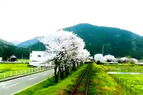 2016.04 樽見鉄道と桜 9