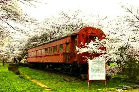2016.04 樽見鉄道と桜 5