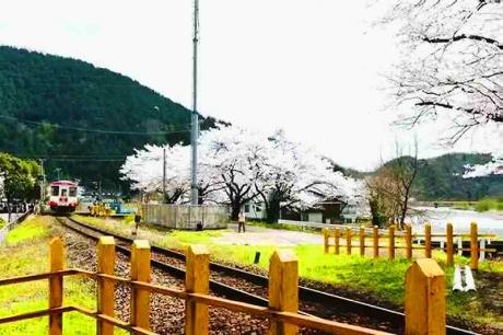 2016.04 樽見鉄道と桜 3
