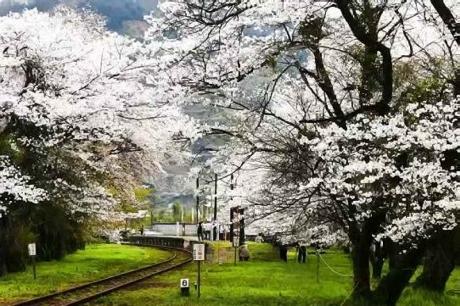 2016.04 樽見鉄道と桜14