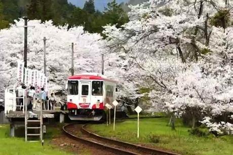 2016.04 樽見鉄道と桜 13