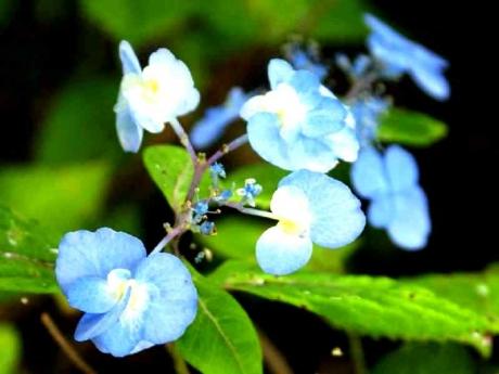 DSC01047八重甘茶(長野県産)