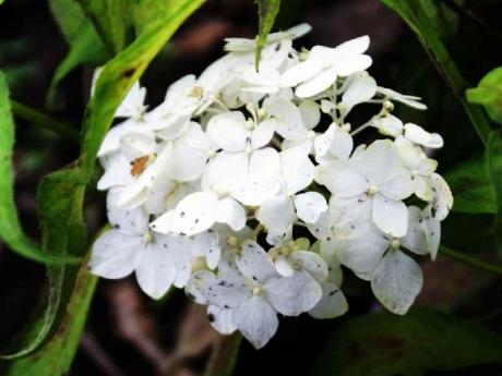 DSC01073白舞妓(ヤマアジサイ・富士山麓)