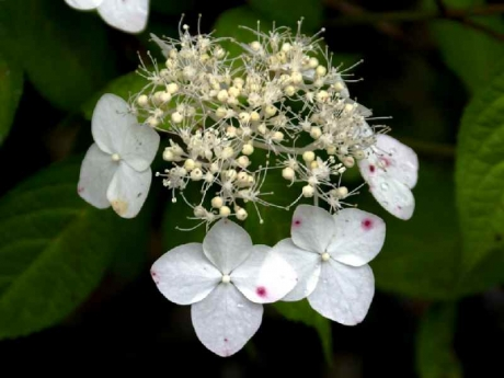 DSC01082白花ヤマアジサイ