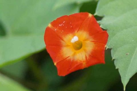 DSC02566マメアサガオ橙色