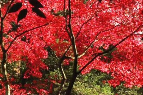 揖斐川町谷汲 横蔵 両界山横蔵寺の紅葉 -5