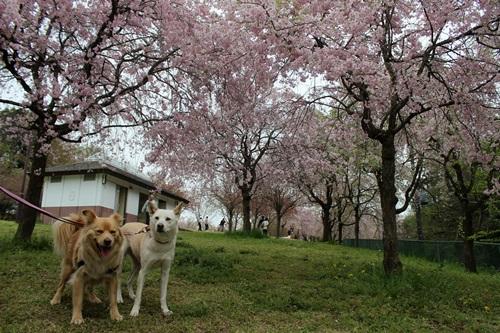 IMG_3914桜