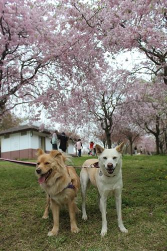 IMG_3918桜