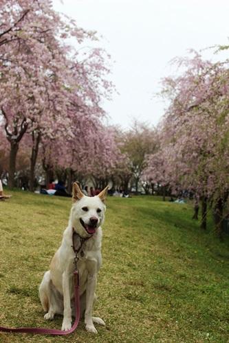 IMG_3921桜
