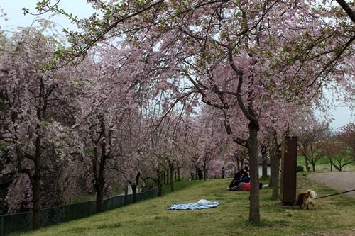 IMG_3905桜
