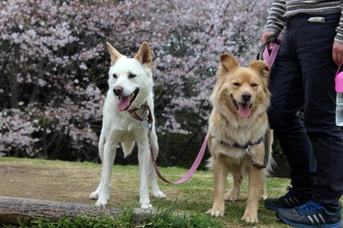IMG_3908桜