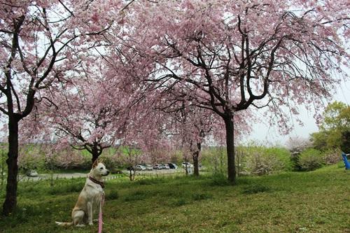 IMG_3919桜